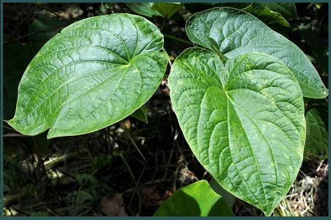 فوائد نبات الكافا