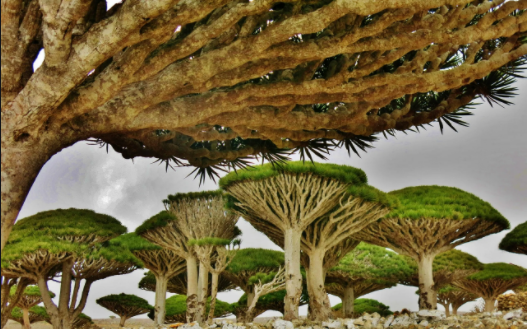 فوائد شجرة دم الاخوين للاسنان