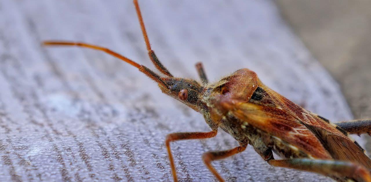 ما سبب وجود حشرة البق في المنزل