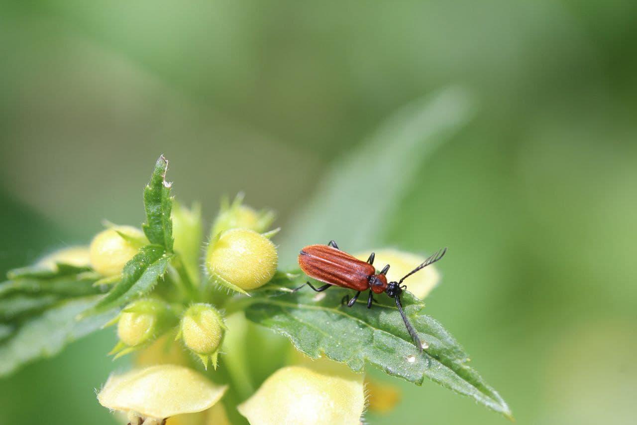 حشرة البق الدقيقي وطرق مكافحتها